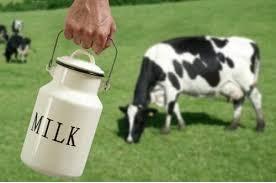 milk cow 3